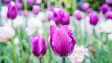 pinke Tulpen im Reiters Reserve