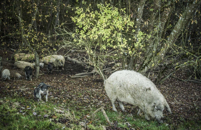 Schweine im Reserve