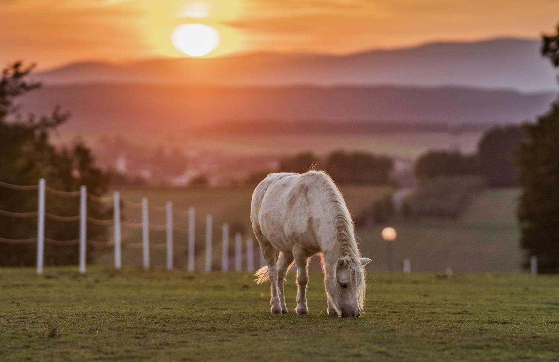 Pferd grast am Feld bei Sonnenuntergang