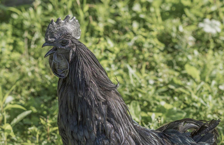 schwarzer Hahn im Reiters Reserve