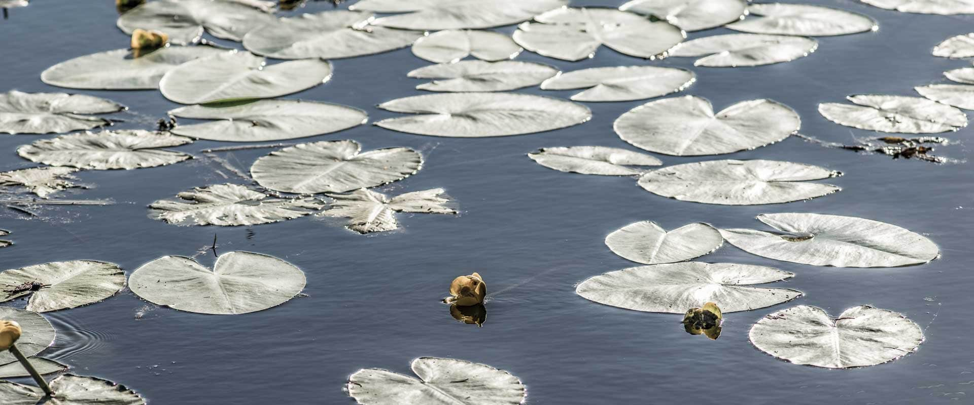 Seerosenblätter im Teich
