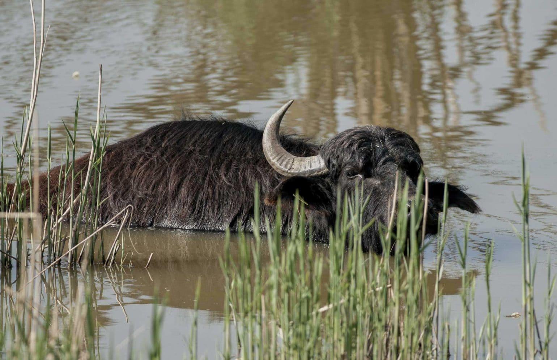 Wasserbüffel im Wasser