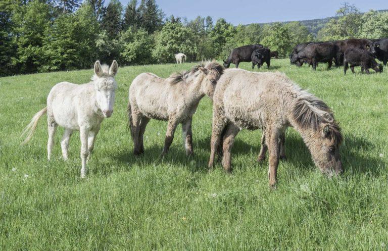 Esel und Rinder im Reserve