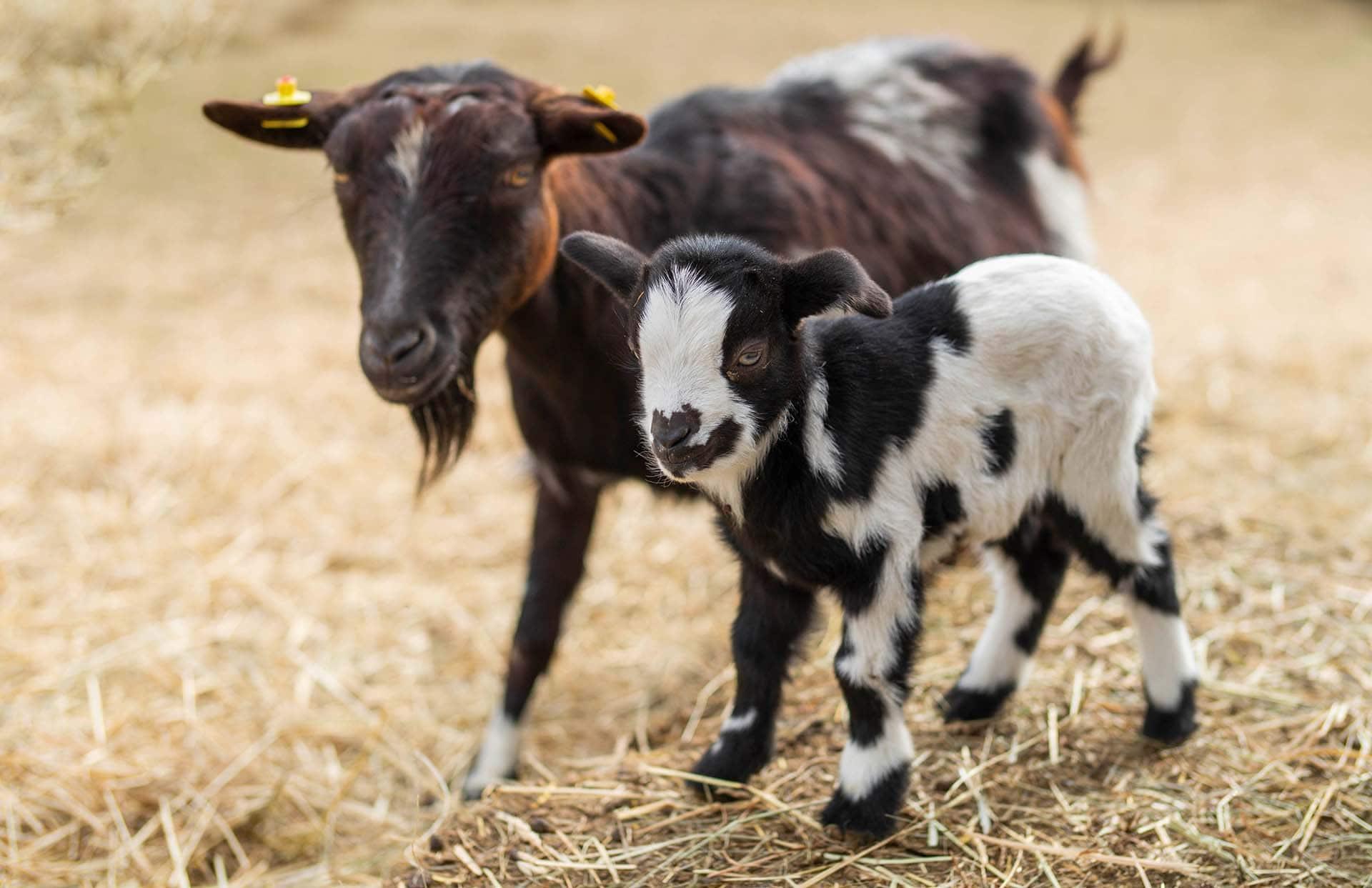 Braune Ziege mit Ziegenbaby