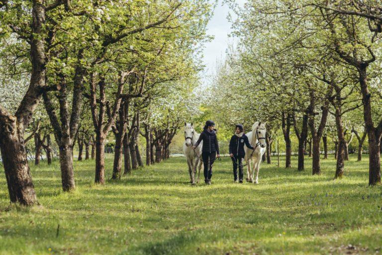 zwei Frauen beim Spaziergang mit Lippizzanern