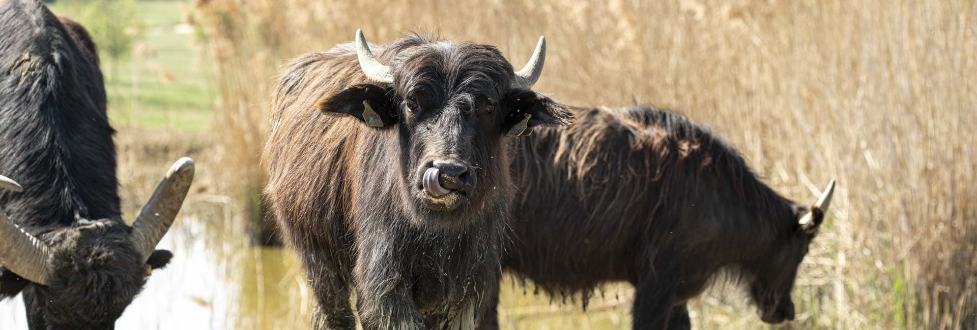 Wasserbüffel im Reiters Reserve
