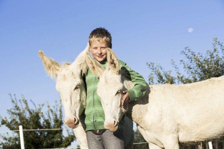 Junge mit zwei weißen Eseln
