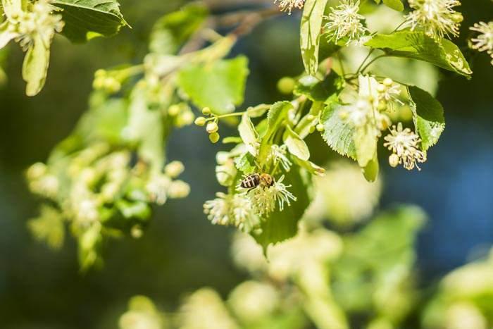 Biene auf Lindenbaum