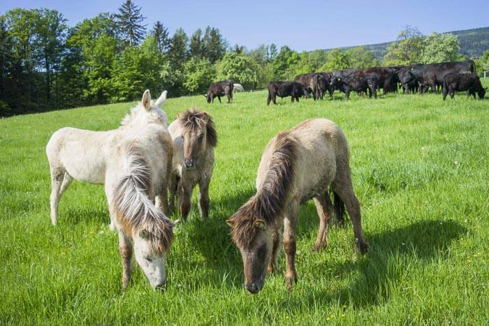 Islandpferde auf Reiters Bauernhöfen